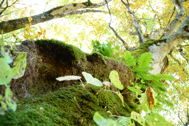 鳥崎八景 上大滝 ブナ 巨木
