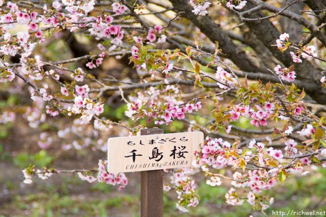 もりまち桜まつり 千島桜