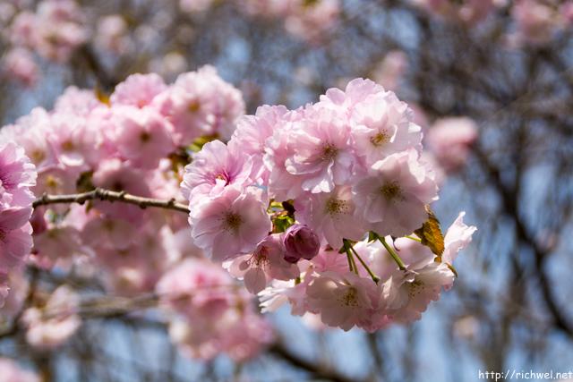 もりまち桜まつり 堀井緋桜(ほりいひざくら)