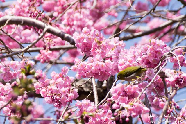 松前町の桜(さくら) メジロ