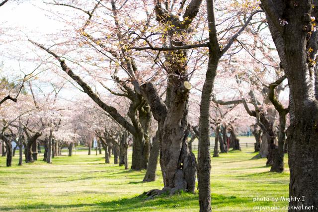函館近郊の花見桜スポット 森町青葉ヶ丘公園のサクラ