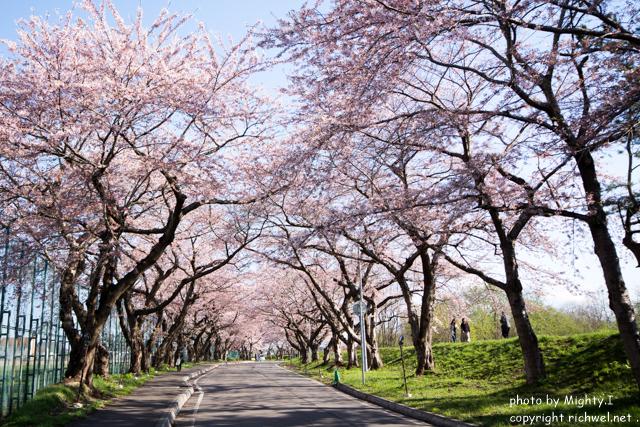函館近郊 サクラスポット 北斗 桜回廊