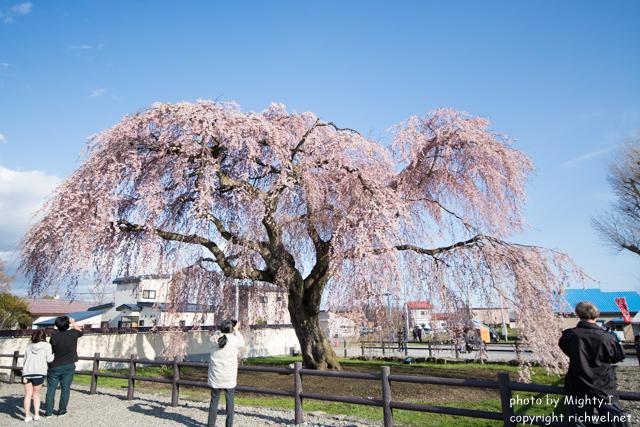 函館近郊 サクラスポット 北斗 桜回廊 法亀寺