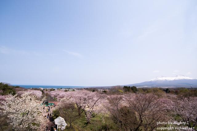 函館近郊の花見桜スポット 森町オニウシ公園