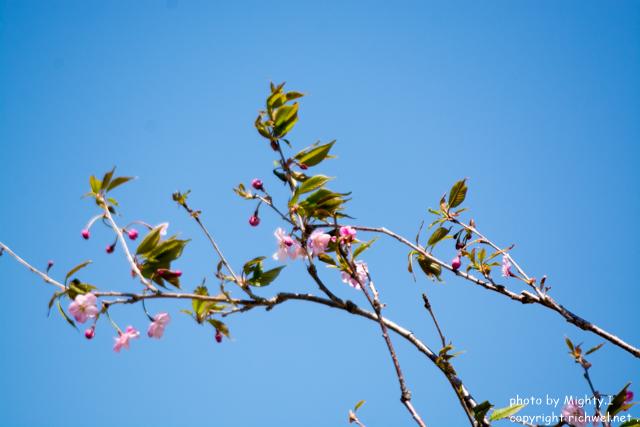 もりまち桜まつり 森小町 八重桜
