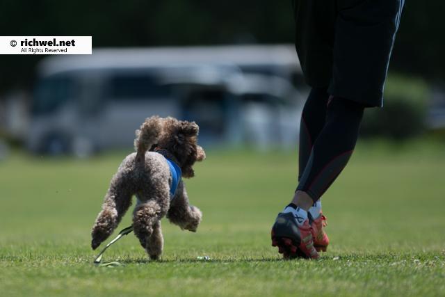 アジリティ競技観戦 恵庭 飛ぶ犬