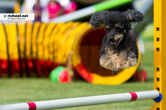 アジリティ競技観戦 恵庭 飛ぶ犬 飛行犬