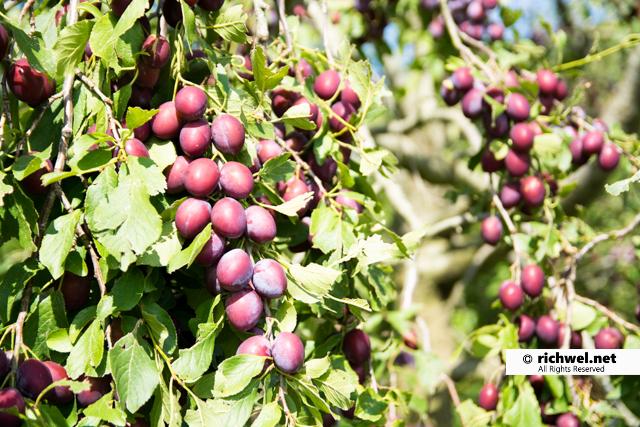 北海道産 生プルーン 奇跡の果実