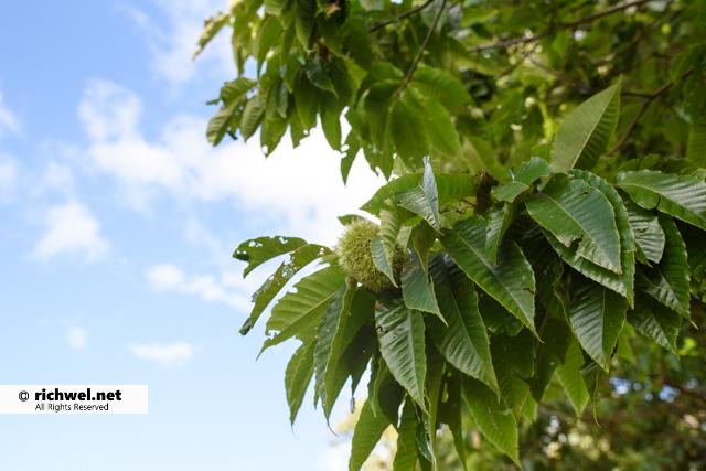 北海道森町 樹齢200年超え 茅部栗