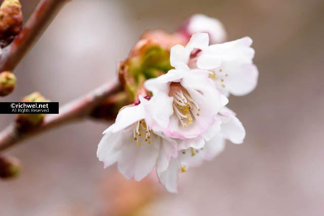 森町桜まつり 2017 イベントスケジュール
