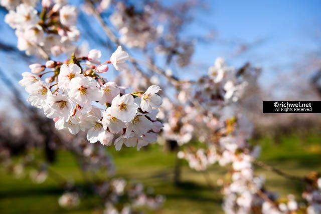 青葉ヶ丘公園 もりまち桜まつり