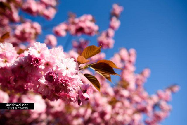 遅咲きの桜が楽しめる森町オニウシ公園