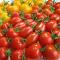 エコ栽培 温泉育ちのトマト 北海道森町